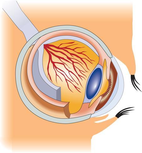 Strukturen av det mänskliga ögat vektor