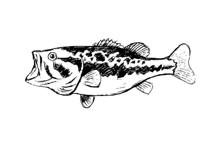 Bass Fisch Strichzeichnung Stil auf weißem Hintergrund vektor