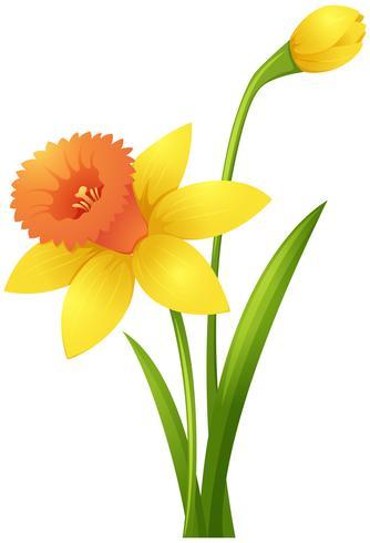Påsklilja blommor i gul färg vektor