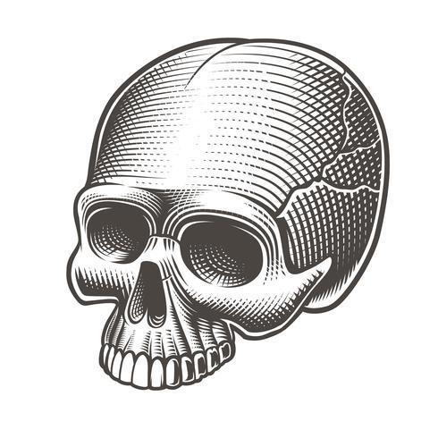 Vektor illustration av skallen utan underkäken