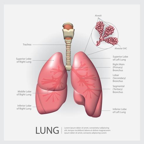 Lunge mit Detail-Vektor-Illustration vektor