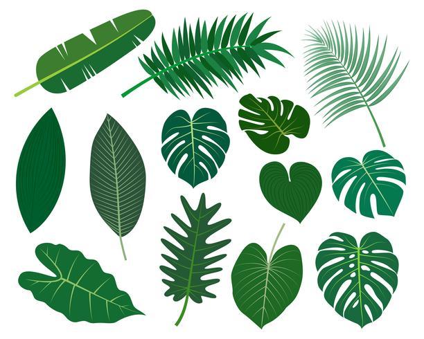 Sammlung des tropischen Blattvektorsatzes lokalisiert auf weißem Hintergrund - Vector Illustration