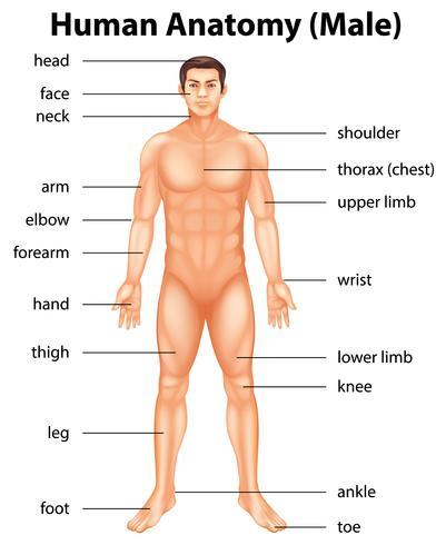 Körperteile des Menschen vektor