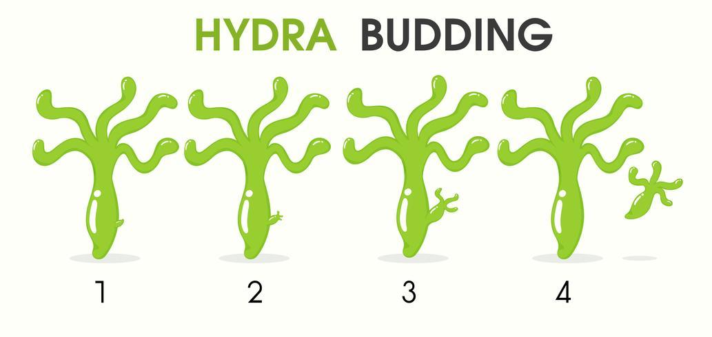 Wissenschaftskarikatur, die über Hydra Budding unterrichtet. vektor