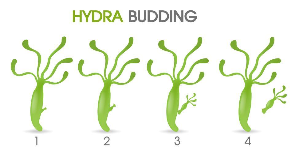 Wissenschaft des Hydra-Knospens. vektor