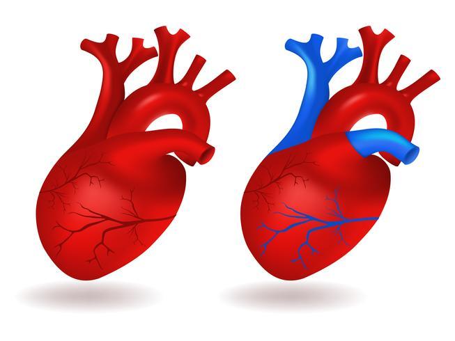 Mänsklig hjärtmodell vektor