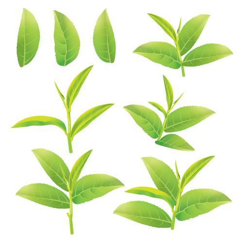 löv av grönt te vektor
