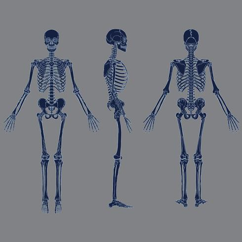 Negativ mänsklig skelett diagram blå färg vektor