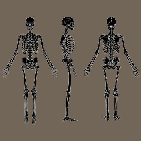 Negativ mänsklig skelett diagram svart vektor