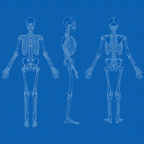 mänsklig skelettblåkopi vektor