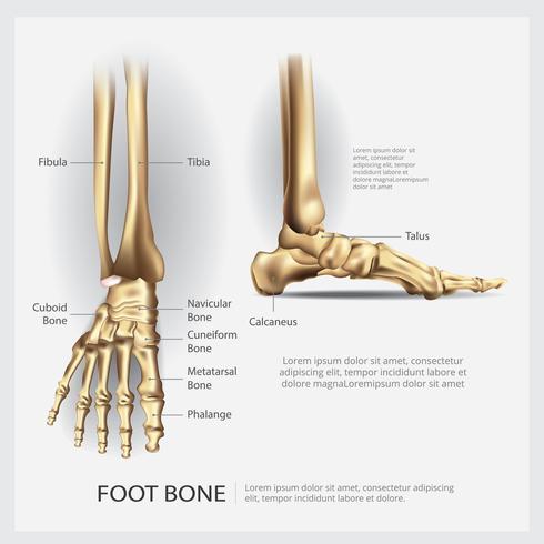 mänsklig anatomi fotben vektor illustration