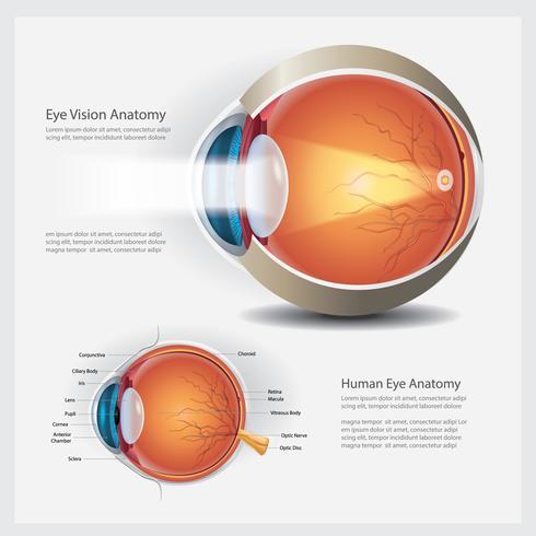 Anatomie des menschlichen Auges und normale Linsen-Vektor-Illustration vektor