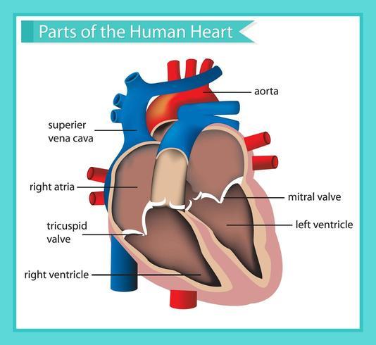 Vetenskaplig medicinsk illustration av delar av det mänskliga hjärtat vektor
