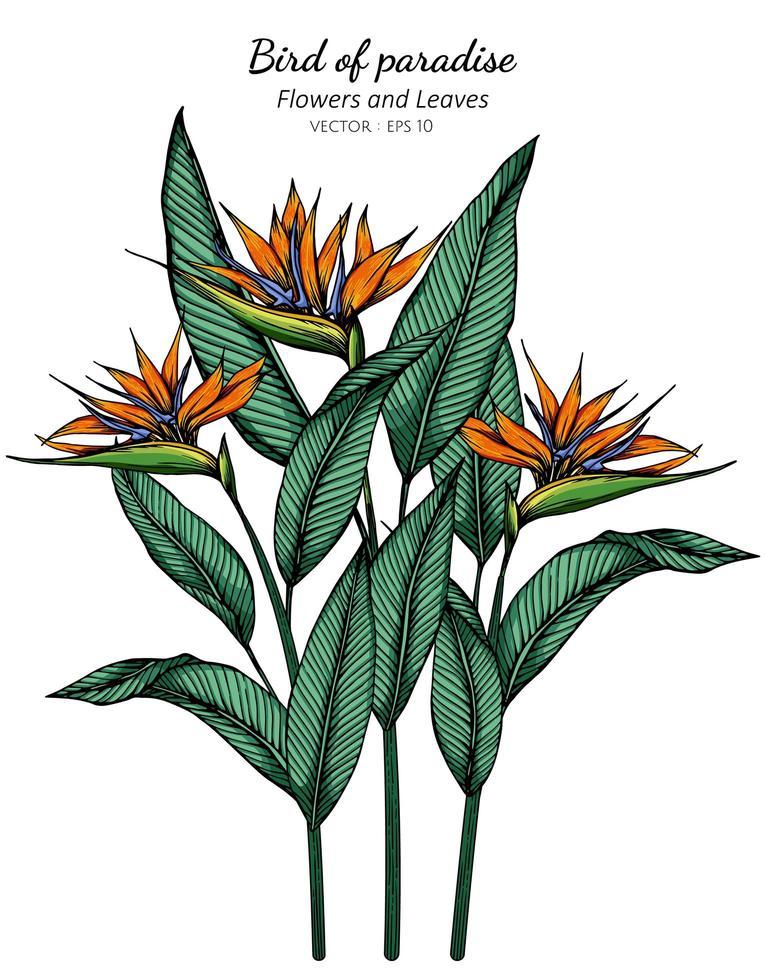 Paradiesvogel Blumen- und Blattzeichnung vektor