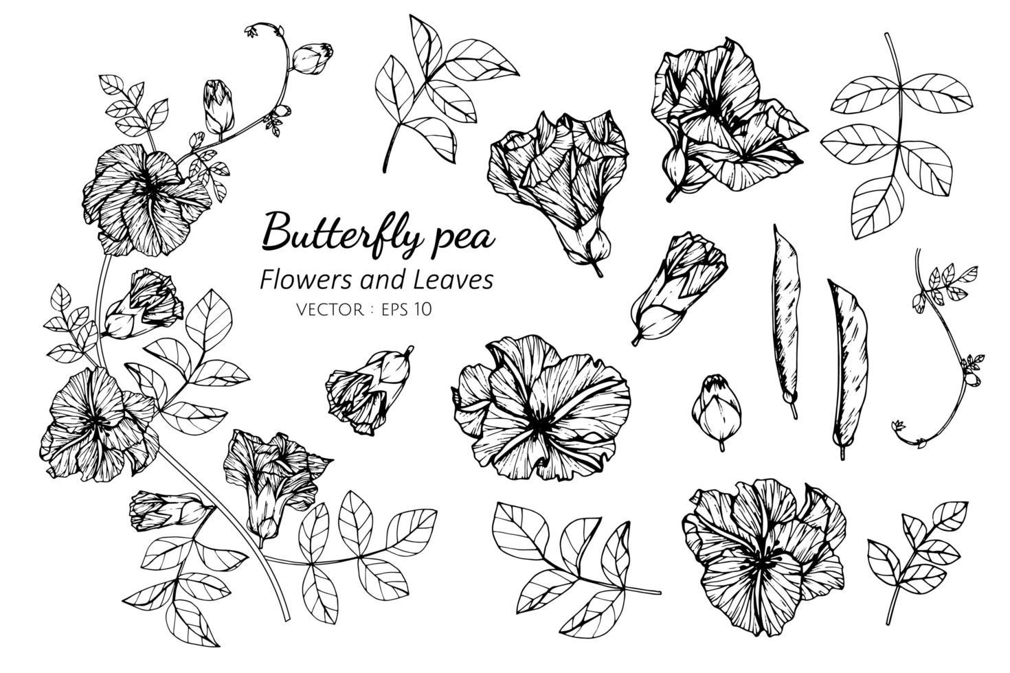 Sammlung von Schmetterlingserbsenblumen und -blättern vektor