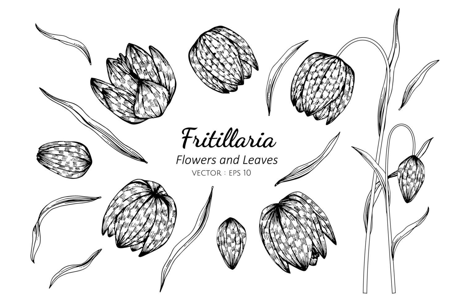 Sammlung von Fritillaria-Blüten und Blättern vektor