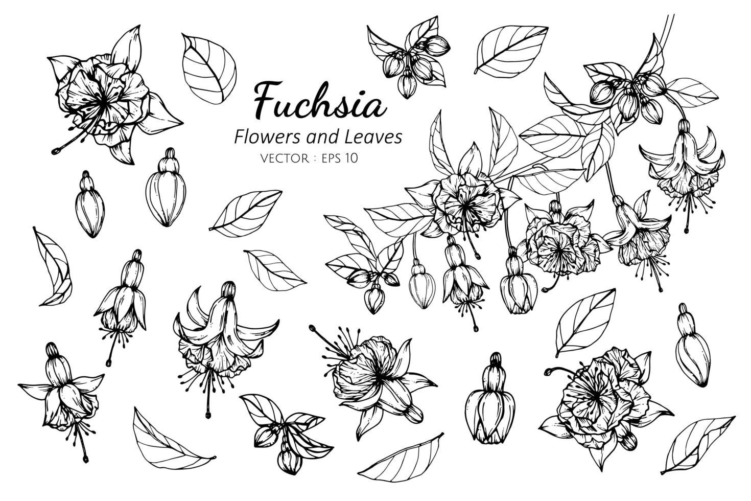 Sammlung von Fuchsia Blumen und Blättern vektor