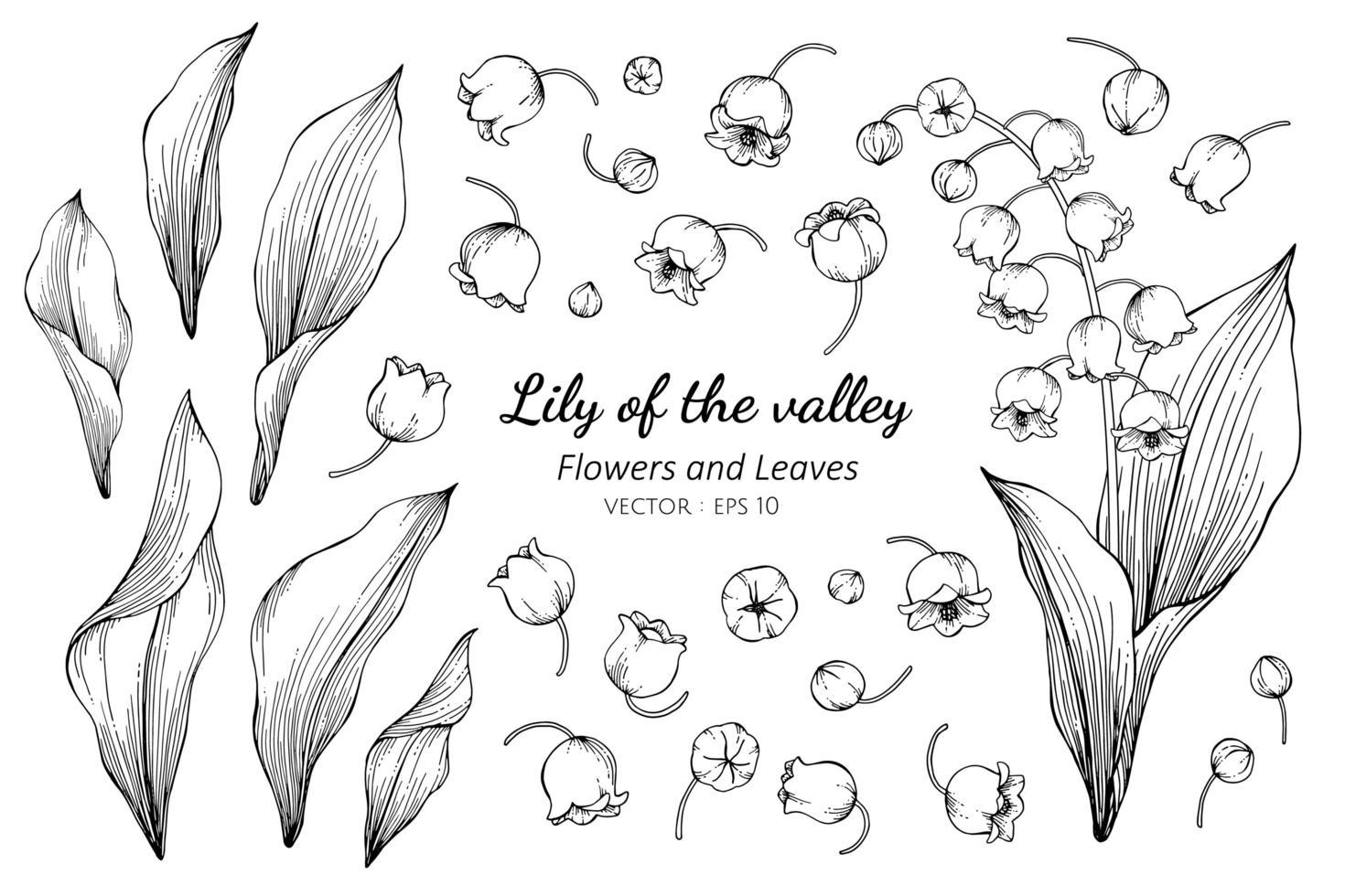 Sammlung von Maiglöckchen Blume und Blätter vektor