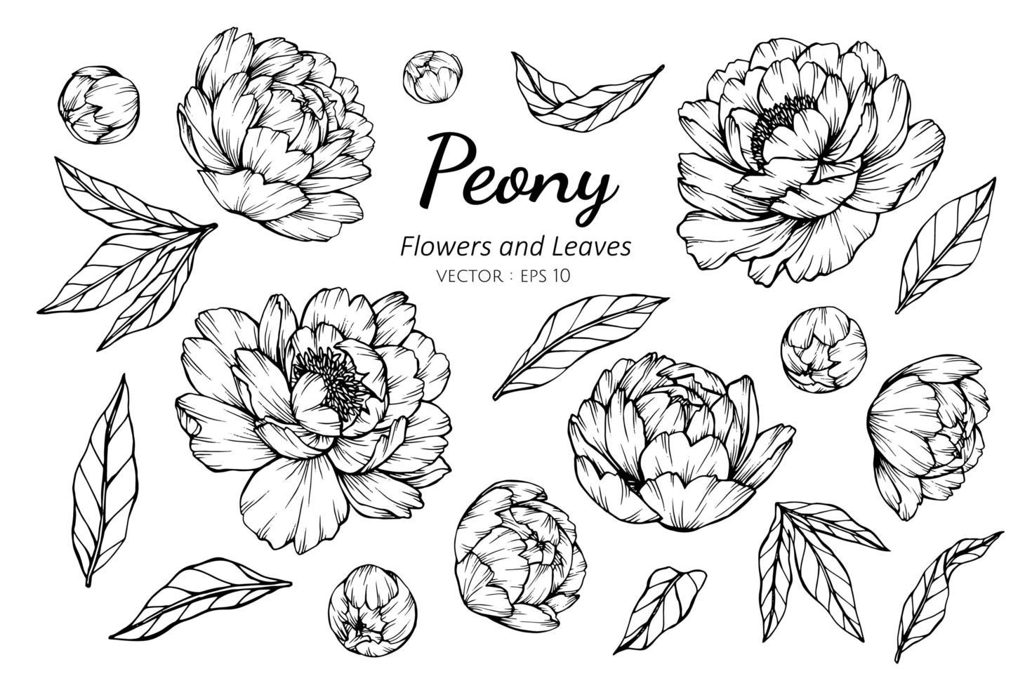 Sammlung von Pfingstrosenblüten und -blättern vektor