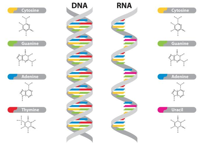 DNA & RNA-Vektoren vektor