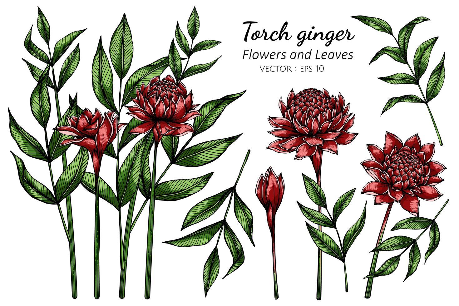 uppsättning röd fackla ingefära blomma vektor