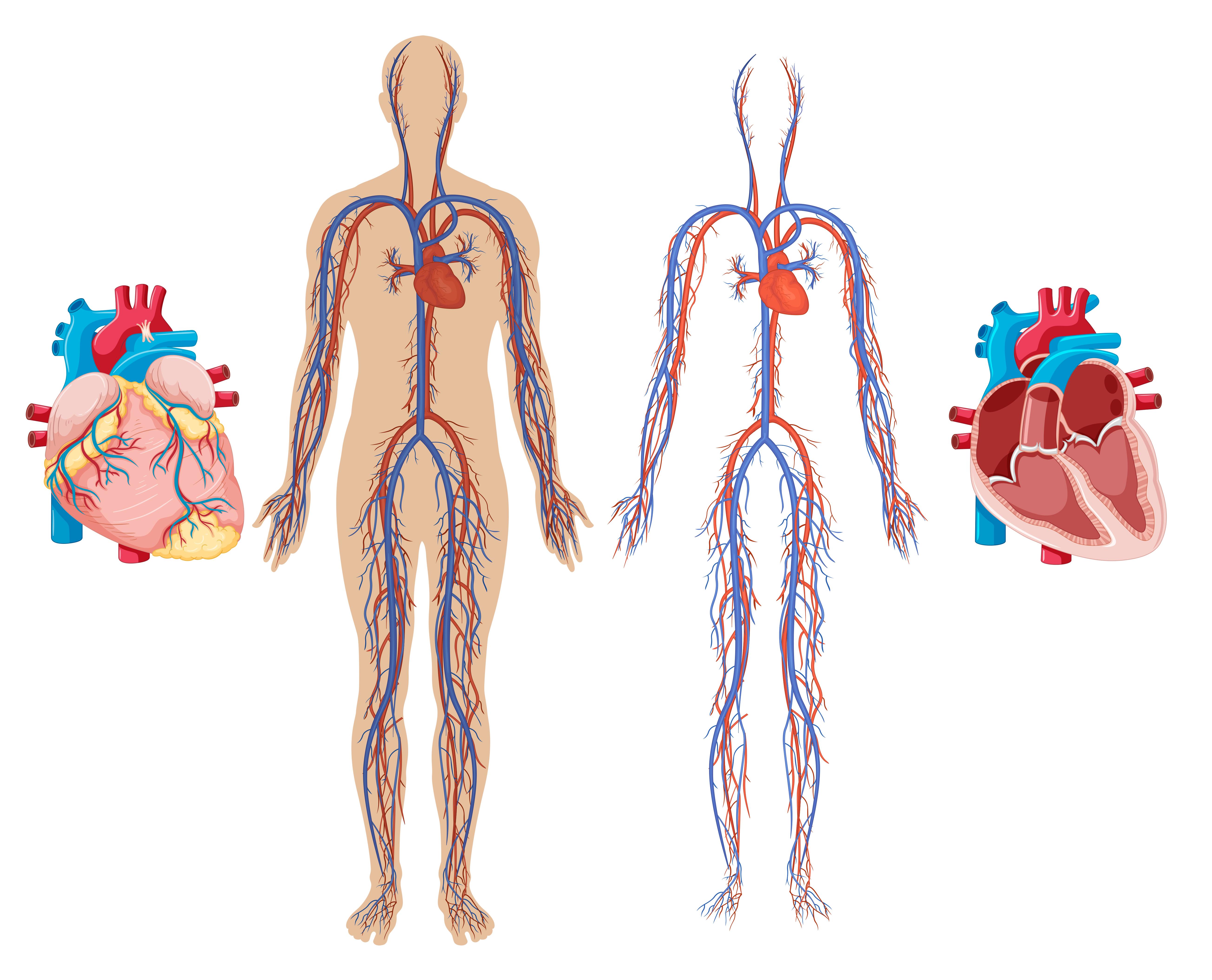 Herz und Herzkreislaufsystem des Menschen 20 Vektor Kunst bei ...