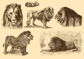 Lejon gamla stil ritningar vektor