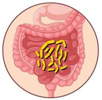 Bakterien im menschlichen Magen vektor