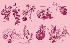 Alte Stil Zeichnung Beeren vektor