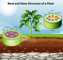 Pflanzenwurzel- und Stammdiagramm vektor