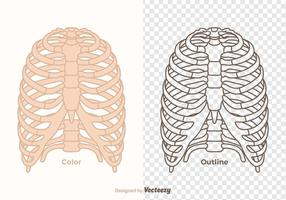 Free vector ribcage