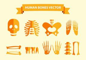 Menschliche Knochen Vektor
