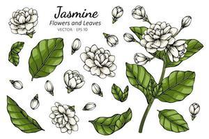 Hand gezeichnete botanische Illustration der Jasminblume und des Blattes