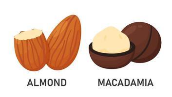 Mandel- und Macadamiasamen vektor