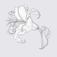 asiatisk lilja blomma vektor