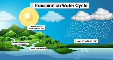 diagram som visar transpirationsvattnets cykel vektor