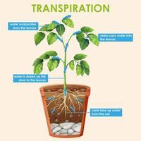 Diagramm, das die Transpiration der Pflanze zeigt vektor