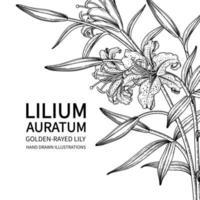 golden gestrahlte Lilienblume oder Lilium auratum lokalisiert auf weißem Hintergrund vektor