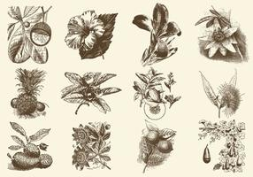 Sepia frukt och blomma illustration