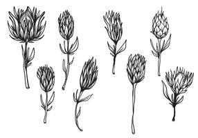 Fri handdragen protea blomma vektor