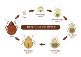 Bed Bug Lebenszyklus Vektor