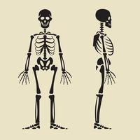 menschliches Skelett vorne und Profil. vektor
