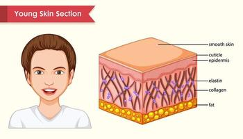 wissenschaftliche medizinische Illustration von Hautschichten vektor