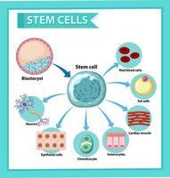 Informationsplakat über menschliche Stammzellen. Bildungsinhalte.