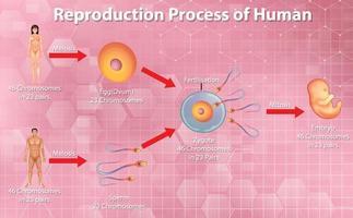 mänsklig reproduktiv process vektor