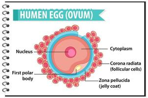 mänskligt ägg eller äggstruktur för infographic för hälsoutbildning