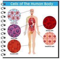 cellen i människokroppsaffischen vektor
