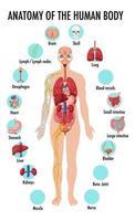 Anatomie des menschlichen Körpers Informationen Infografik vektor