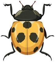 gelber Marienkäfer oder Marienkäfer lokalisiert auf weißem Hintergrund