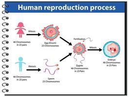 reproduktionsprocess av mänsklig infografik